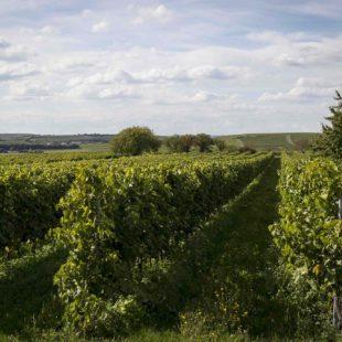 Cépages : quels raisins sont utilisés en France ?